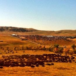 Lots of buffalo